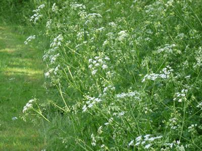 Fleurs toxiques pour les chevaux - Fleur de poison ...