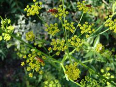 mauvaise herbe fleur jaune